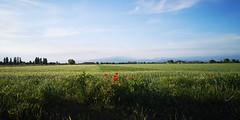 #risaie #paddies #isoladellascala #lairapinali #photography #italy #bassaveronese #veneto #visitveneto #provinciadiverona #campagna #lowerveronese #fromitaly #flickr