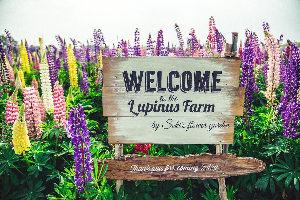 阿久比 ルピナスの花畑