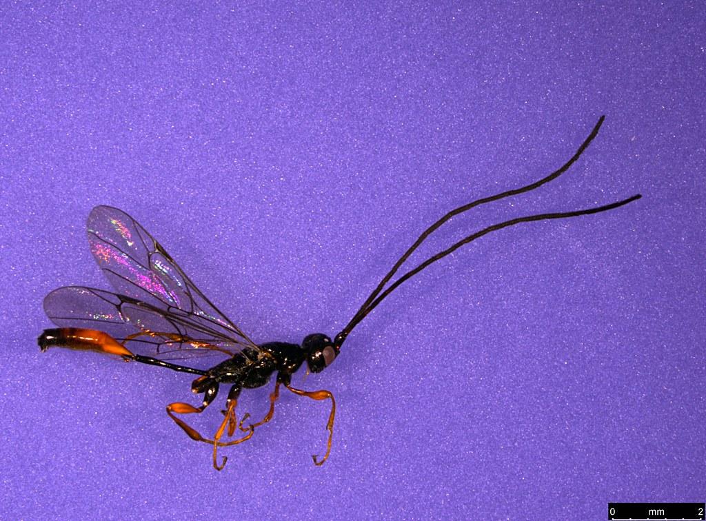 25a - Monomachus antipodalis Westwood , 1874
