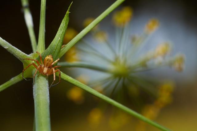 Philodromidae, Philodromus sp.