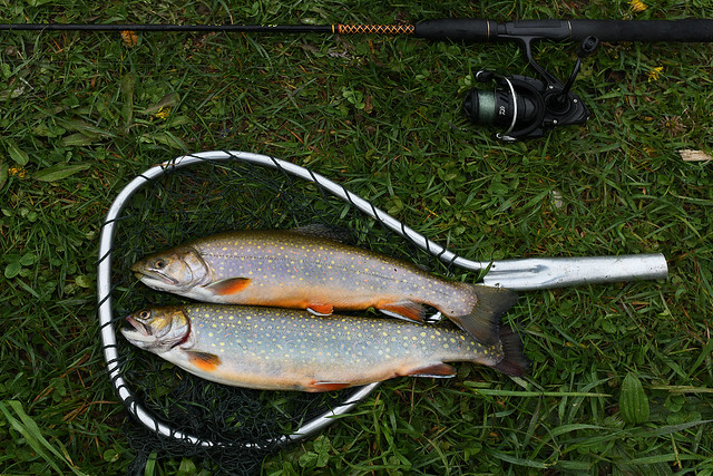 This Morning's Catch of Brook Trout