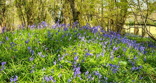 Bluebell Woodland Mound..