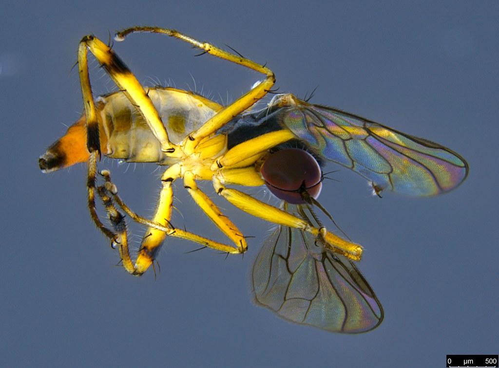 6b - Diptera sp.