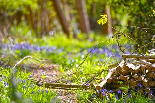 Bluebells and Logs