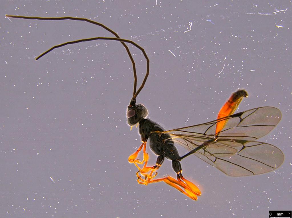 26a - Monomachus antipodalis Westwood , 1874