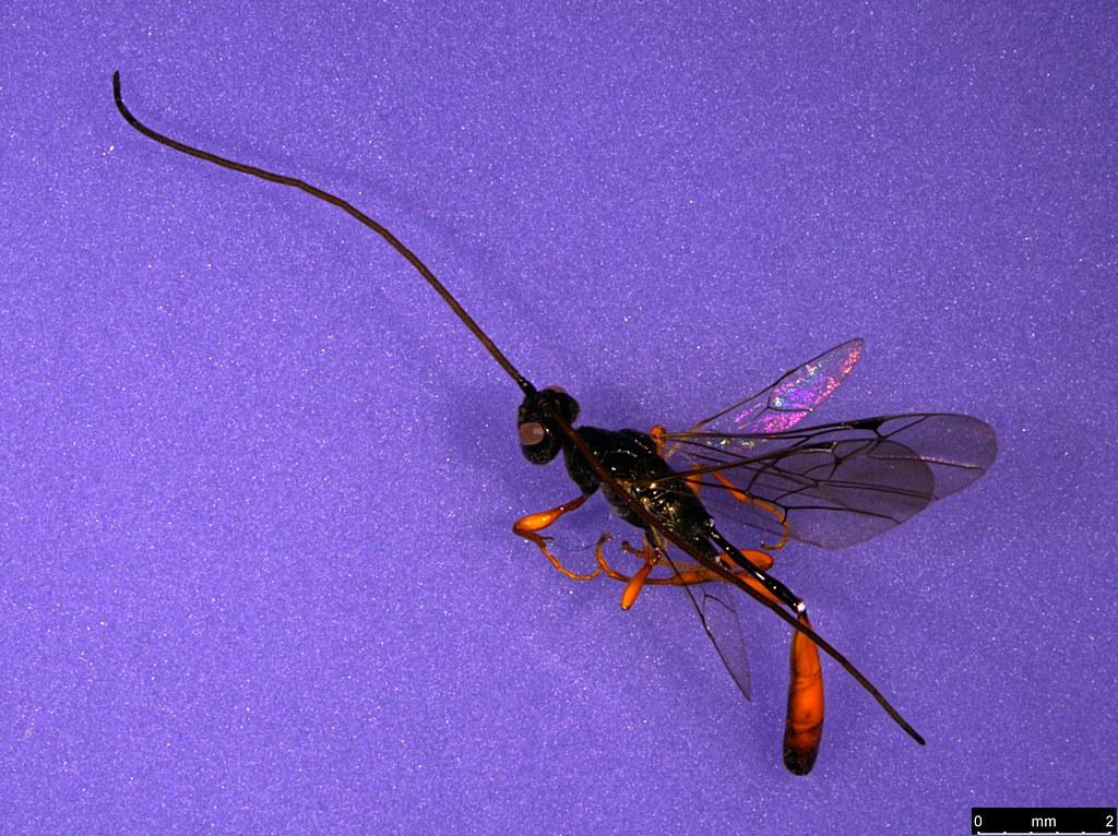30 - Monomachus antipodalis Westwood , 1874