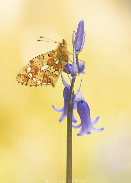 Pearl bordered fritillary roosting on bluebells.