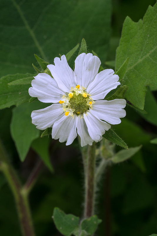 Whiteflower Leaf-cup