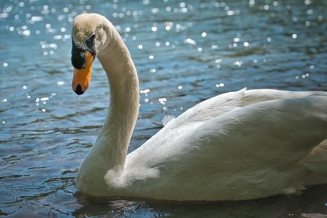 The beautiful swan from Pottendorf / Der schöne Schwan von Pottendorf