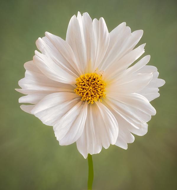 A delicate white Cosmos