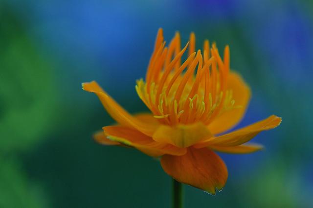 Chinese Globeflower (Trollius Chinensis)