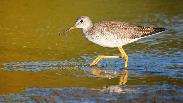 Wading: Greater Yellowlegs