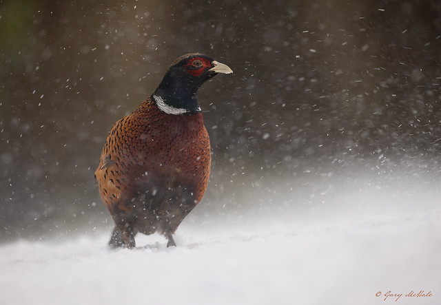 Pheasant (m)