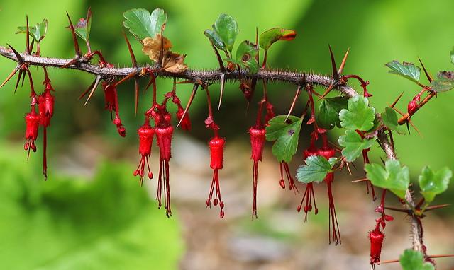 Ribes_speciosum_cultivar_RSBG_3_2