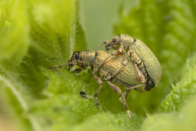Groene blad snuitkever - Staelduinsebos - Het Westland