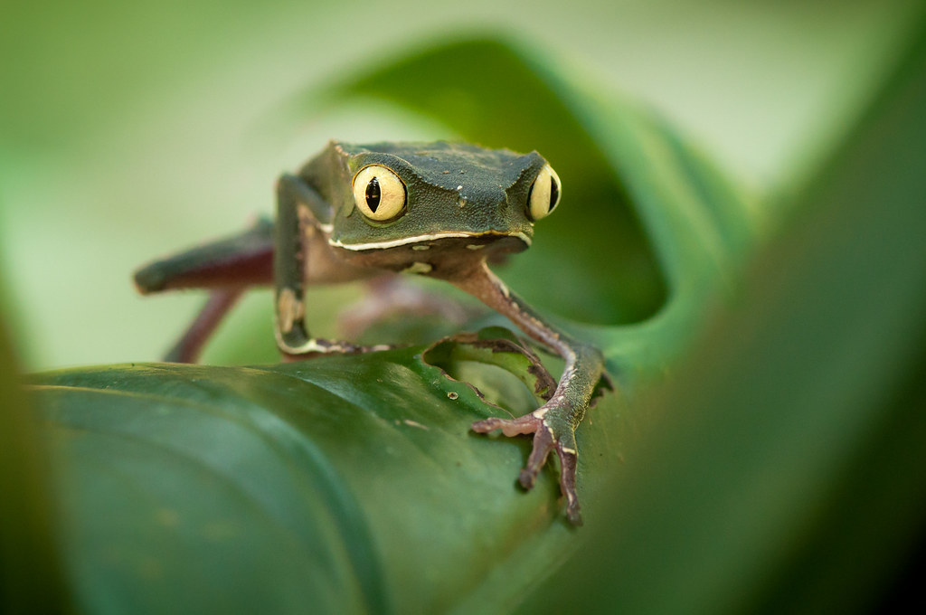 White-lined leaf frog (Phyllomedusa vaillantii)