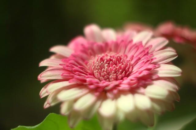 Pink Gerbera       Foca Oplarex 50mm f1.9