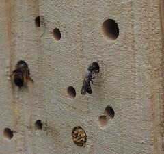 Wildbiene unbestimmt an einer Nisthilfe