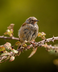 A rather scruffy looking Dunnock