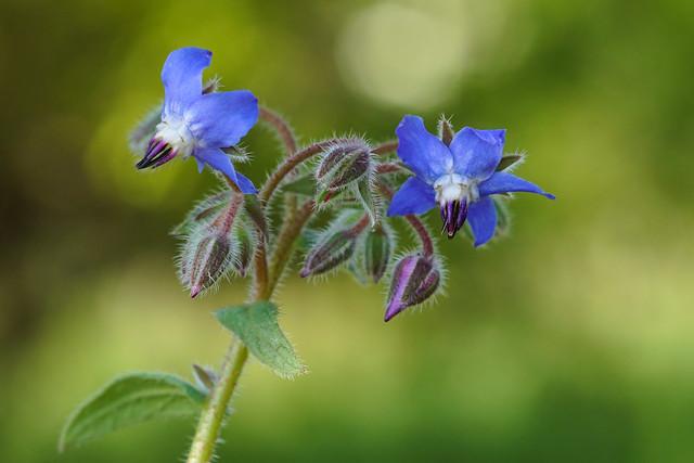 Fiore di campo - Borragine