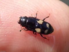 Picknickku00e4fer (Glischrochilus quadrisignatus)