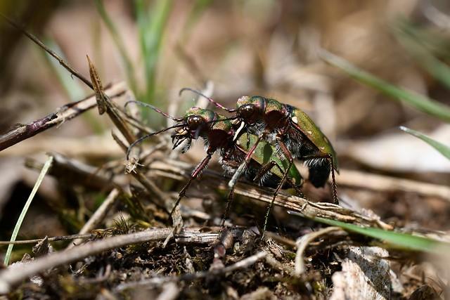 Green Tiger Beetles (Cicindela campestris) - mating pair