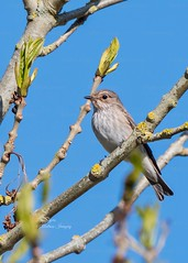 Beautiful Spotted Flycatcher
