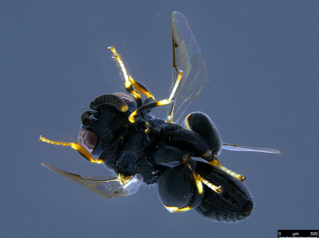 17c - Chalcidoidea sp.