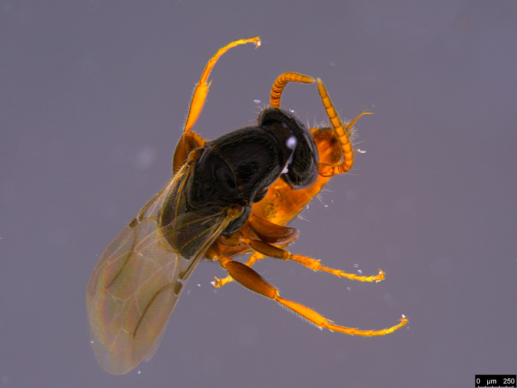 18a - Bethylidae sp.