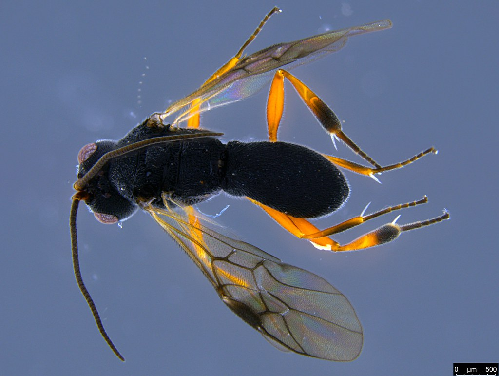 19a - Cheloninae sp.