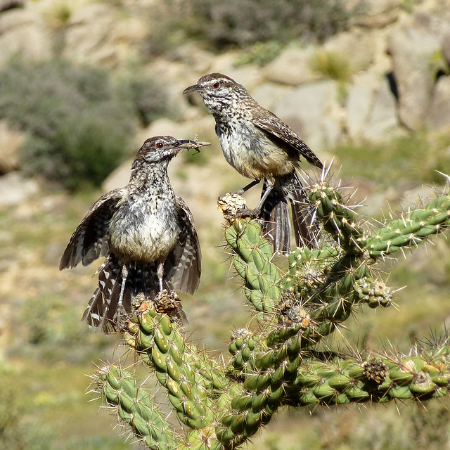 Cactus Wrens (Campylorhynchus brunneicapillus).  Sandia Mountains foothills, Albuquerque, New Mexico, USA.