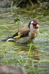 Goldfinch bath time.