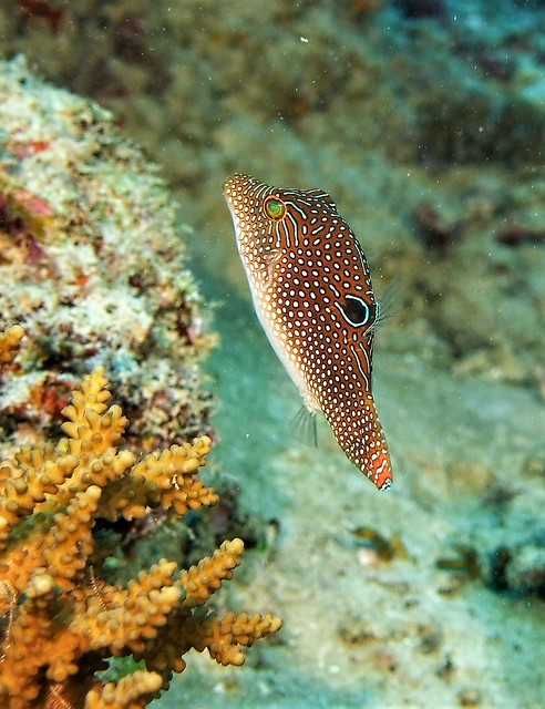 Canthigaster petersii