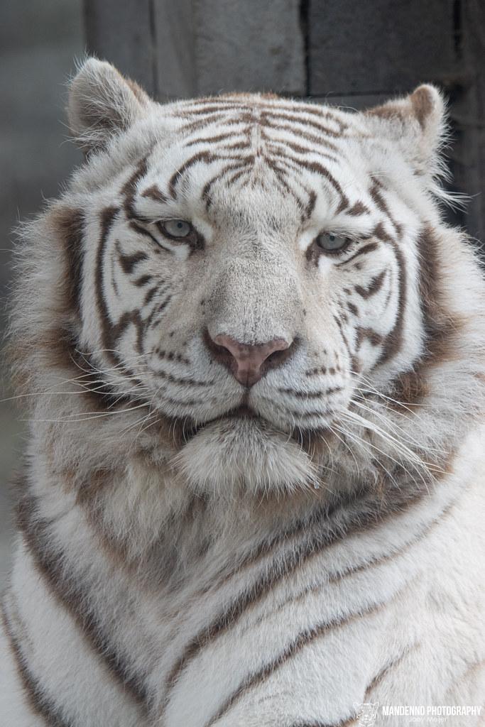 White Tigress
