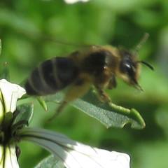 Wildbiene (Apoidea indet.) (4)