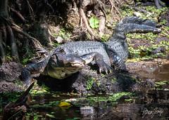 Alligator on the prowl.jpg