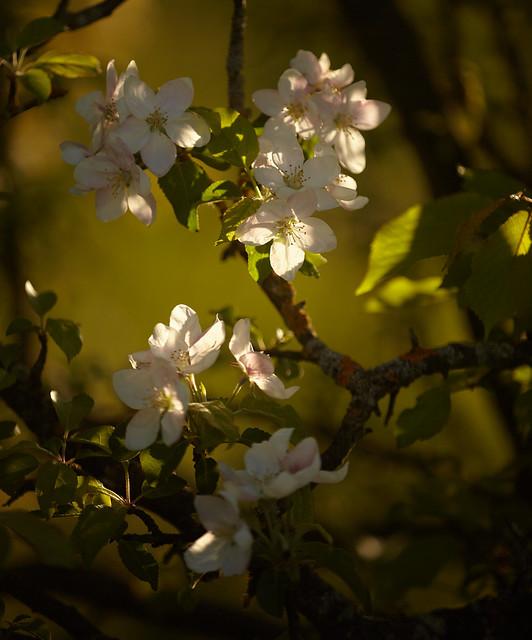 blossom ...