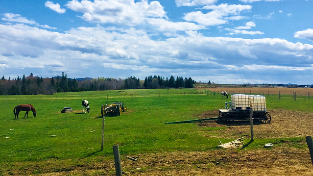Spring Grazing... in Northern Maine
