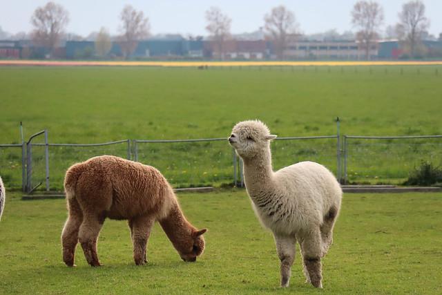 Dos Alpacas