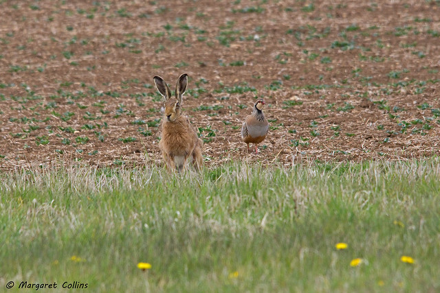 Brown Hare & Partridge 1