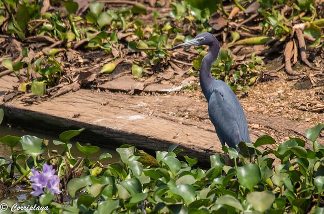 Garceta azul, Egretta caerulea, Little Blue Heron