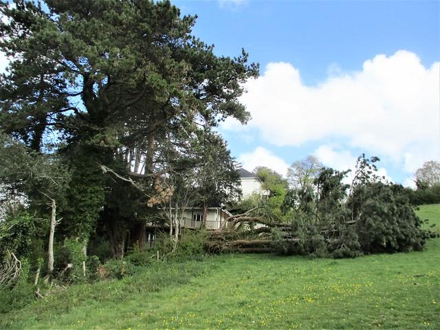 Newton Abbot Fallen Tree