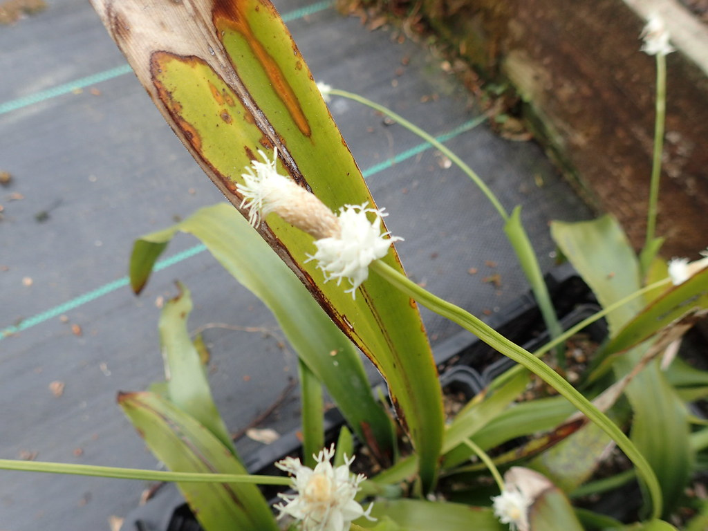 Cymophyllus fraserianus