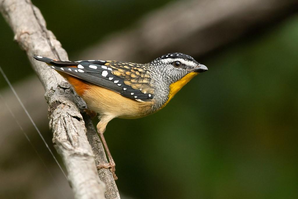 Spotted Pardalote (Pardalotus punctatus punctatus)
