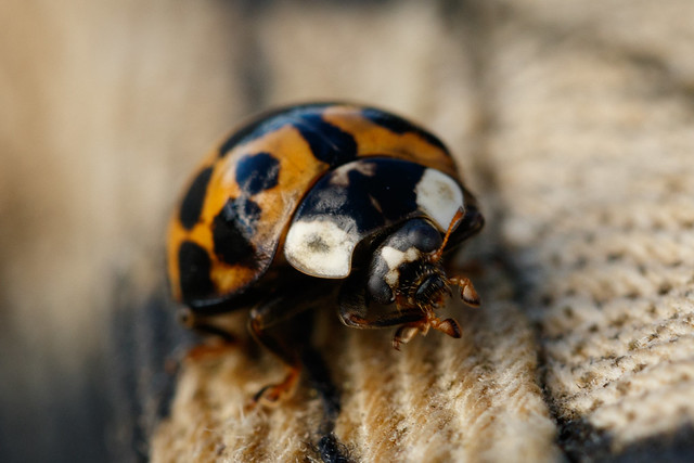 Harlequin Ladybird (020/100)