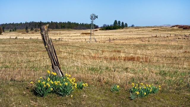 Daffodils Fence Windmill 3506 B