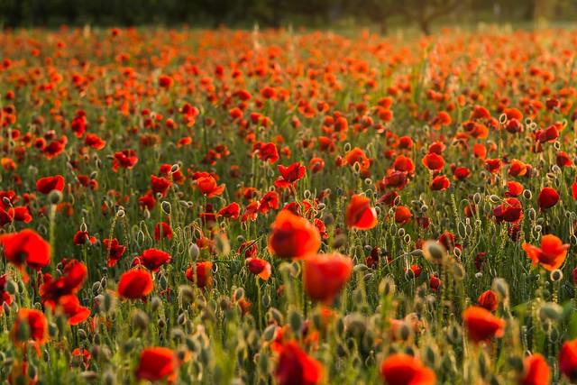 blurred poppy field