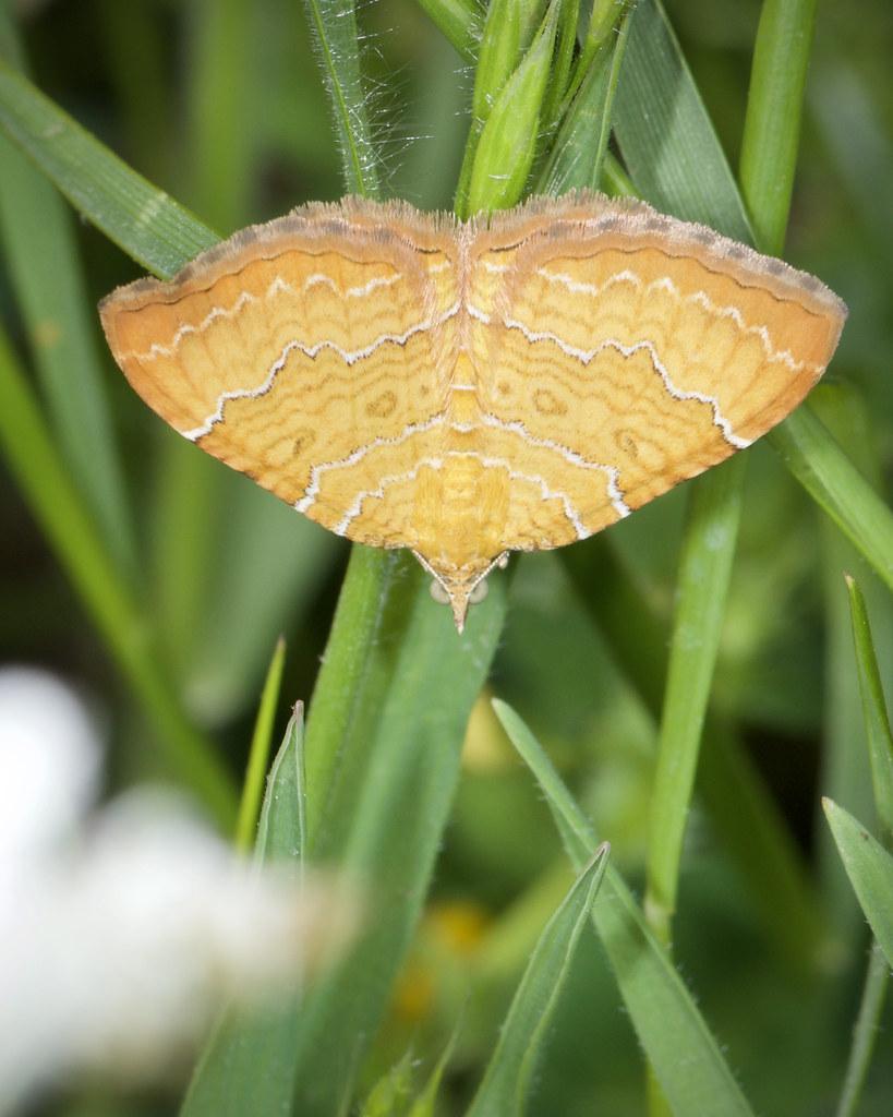 Geometridae,Camptogramma bilineata