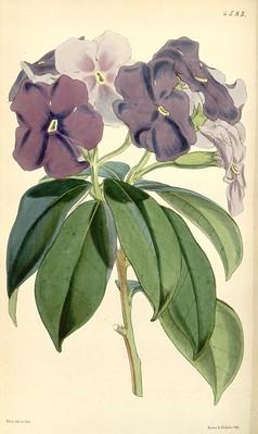 Brunfelsia_pauciflora_Curtis