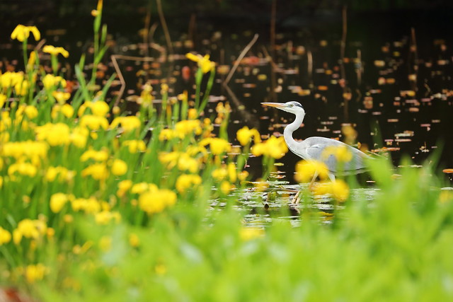 Grey heron in the pond